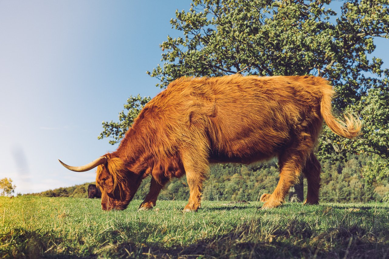 Highland Cow - Lake District, England | Travel Guide by HonestlyYUM