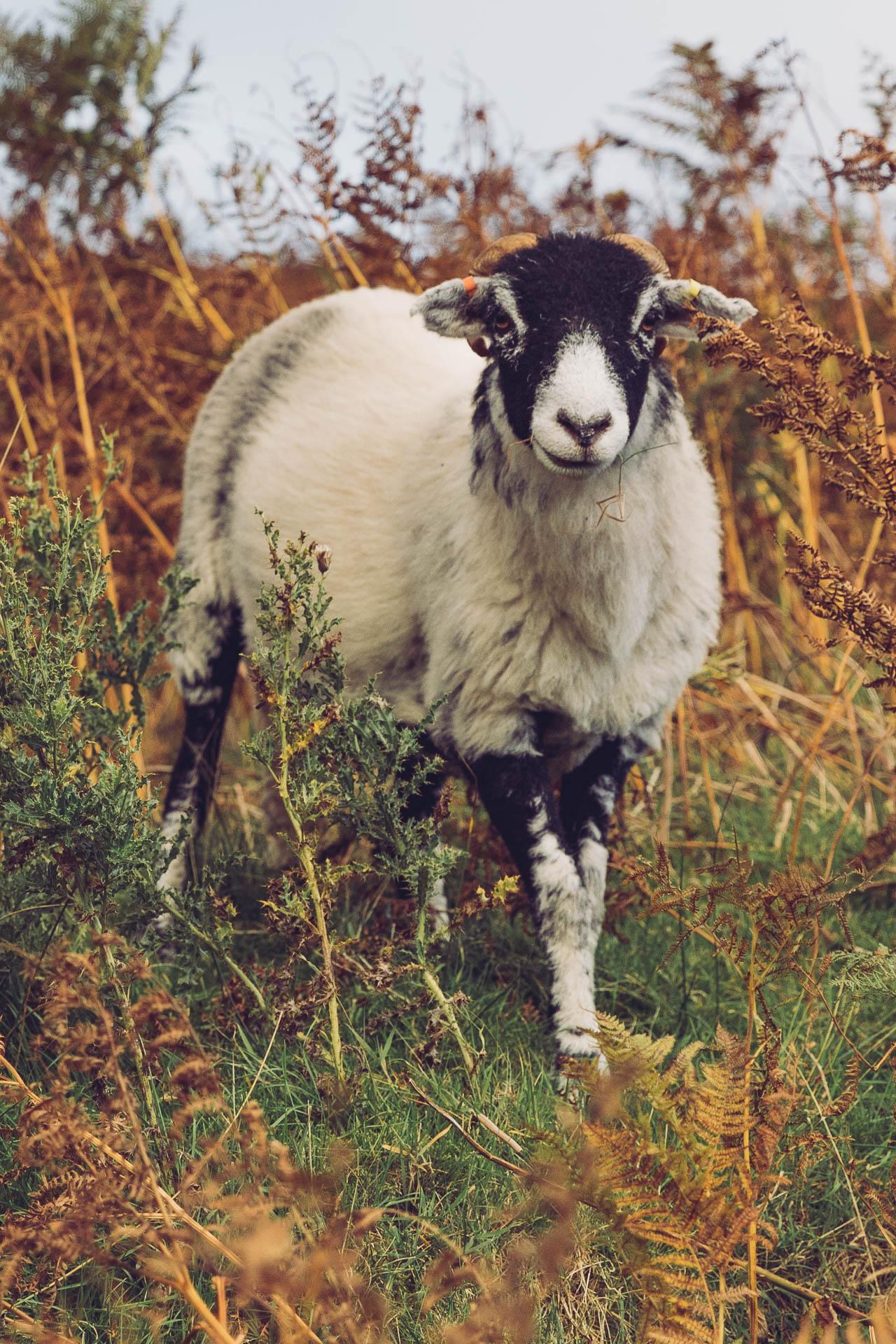 Sheep! Lake District, England   Travel Guide by HonestlyYUM